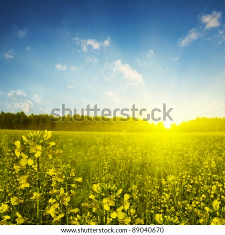 Bright sunset over rapeseed field. - stock photo