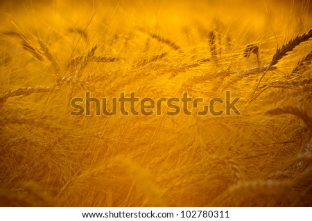 Bright sunset over wheat field - stock photo