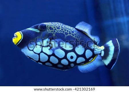 bright trigger fish close up - stock photo