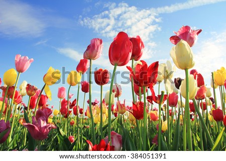bright tulip field for self cutting, various colors. Blue sky with clouds. - stock photo
