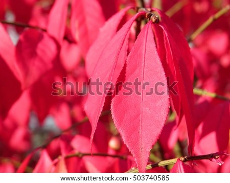 Bright Vibrant Red Leaves In Fall