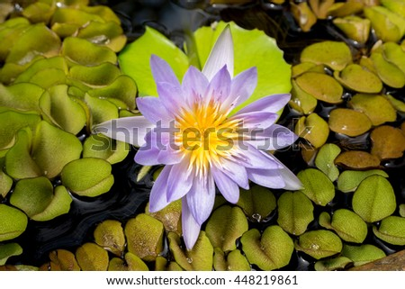 Bright violet full-bloom Prickly Water lily on water pot with water plant as background - top view - stock photo