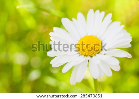 Bright warm summer photo of daisy or chamomile - stock photo