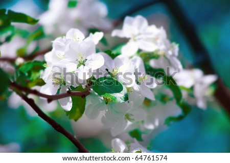 Bright white an apple-tree flower illuminated by a bright ray of the spring sun and blue sky on a back background - stock photo