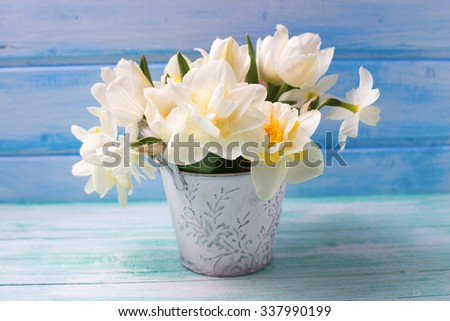 Bright white daffodils and tulips  flowers in bucket on turquoise  painted wooden planks against  blue wall. Selective focus.  - stock photo