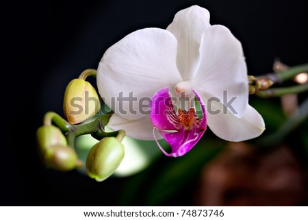 Bright white orchid (phalaenopsis) on black - stock photo