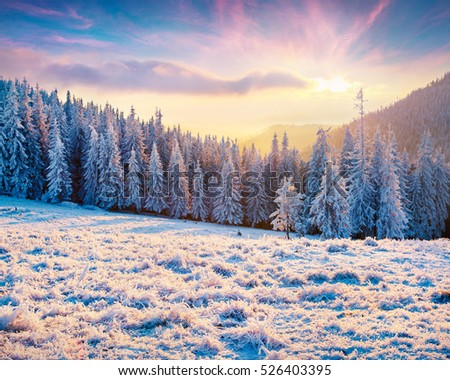 Bright winter morning in Carpathian mountains with snow covered fir trees. View from below of the snowy trees against blue sky, Happy New Year celebration concept. Artistic style post processed photo