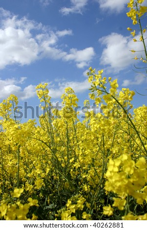 Bright yellow alternative energy rapeseed under clear blue sky - stock photo