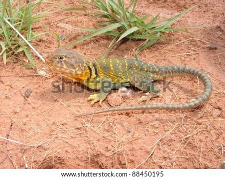 Bright yellow and green lizard basking in the sun - Eastern Collared Lizard, Crotaphytus collaris - stock photo