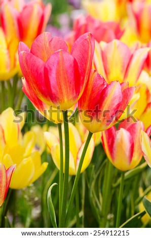 Bright yellow and pink tulips in a field, macro - stock photo