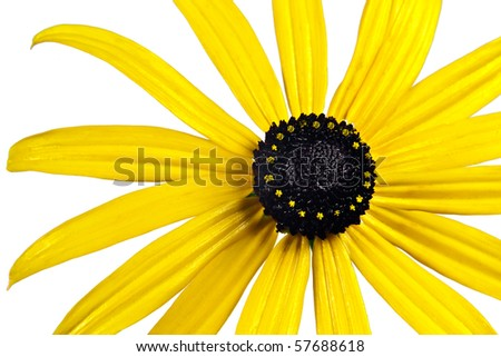 Bright yellow black-eyed-susan flower
