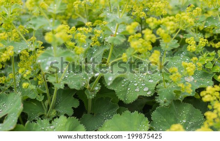 Bright yellow budding and blooming Lady's Mantle or Alchemilla mollis plants with silver water droplets on the velvety leaves. - stock photo