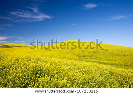 Bright Yellow Canola Fields under Blue Sky - stock photo