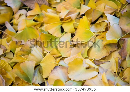 Bright yellow color ginkgo leaves on ground - stock photo