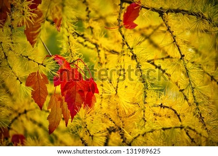 Bright yellow color of a pine tree in autumn season - stock photo