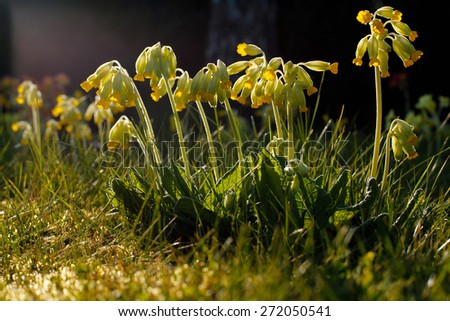 Bright yellow Cowslip flowers standing in a line with drooping flowers. Growing wild in the Cotswolds, rural English countryside. Taken in dramatic sunlight in Spring.  - stock photo
