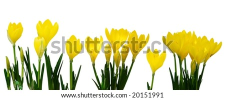 Bright yellow crocus in a line over white background - stock photo