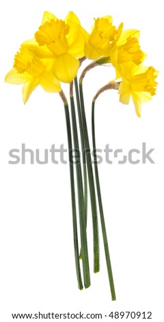 Bright yellow daffodils on white are a sign that spring is here.