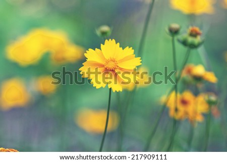 bright yellow daisies in a meadow - stock photo