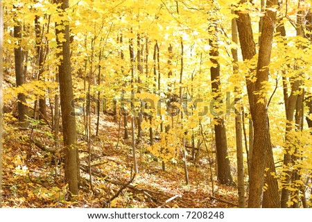 Bright Yellow fall leaves on trees in a forest