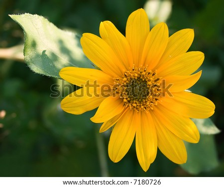 Bright yellow flower - a symbol of good mood