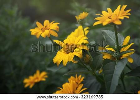 bright yellow flowering coreopsis - stock photo