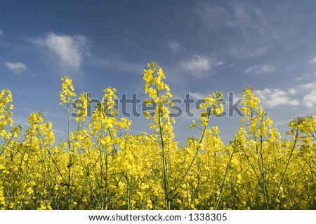 Bright yellow flowers of this popular British crop seen in the early Summer. - stock photo