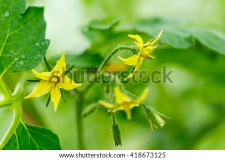 Bright yellow flowers of tomatoes  - stock photo