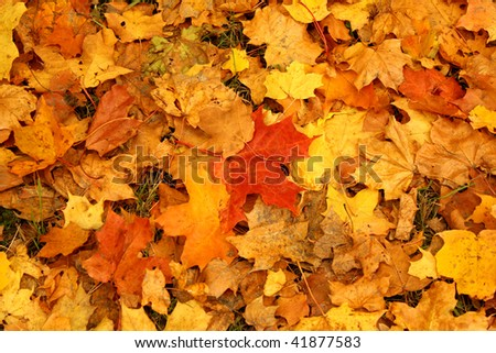 Bright yellow leaves on the ground - stock photo