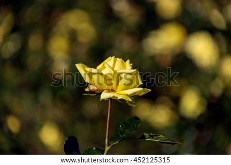 Bright yellow lush rose flower in bloom against blurred garden background. Summer nature scene. Close up, selective focus - stock photo