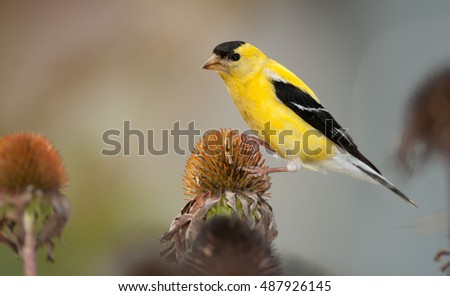 Bright yellow male American goldfinch, spinus tristis, perched on seedhead of purple coneflower plant