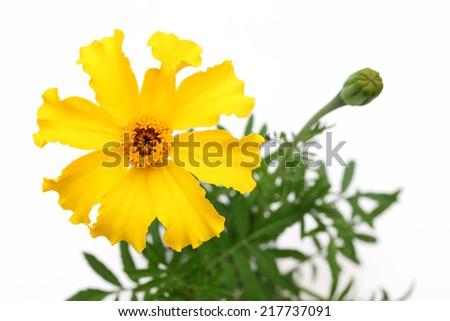 bright yellow marigold flower isolated on white background  - stock photo