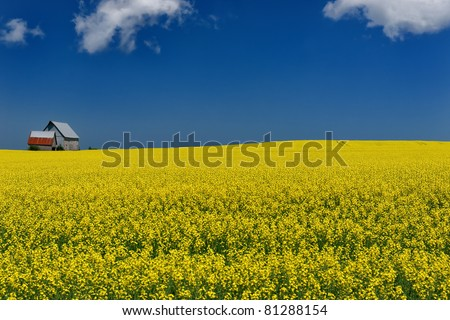 Bright yellow mustard field against a deep blue sky - stock photo
