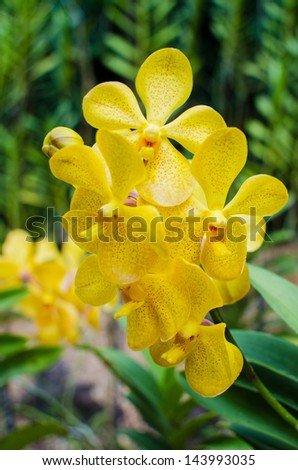 Bright yellow orchids flower in Botanical garden , close up details - stock photo