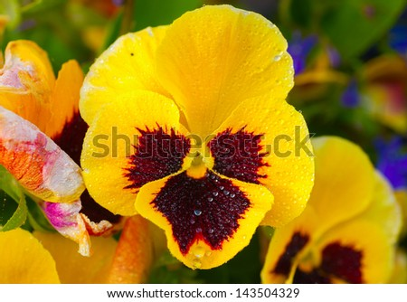 Bright Yellow Pansy with water drops. - stock photo