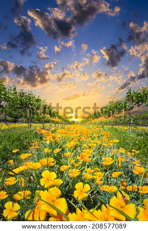 Bright yellow poppies on display at sunrise in a Texas vineyard - stock photo