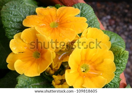 Bright yellow primroses