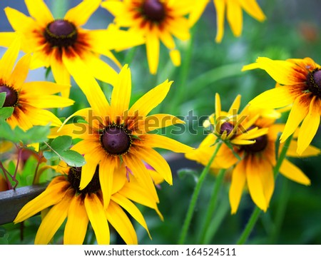 Bright yellow rudbeckia or Black Eyed Susan flowers in the garden, summer, some flowers in focus, some are not - stock photo