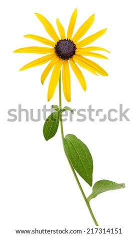 Bright yellow rudbeckia or Black Eyed Susan flowers isolated