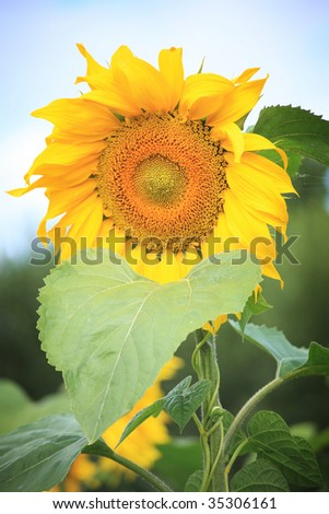 bright yellow sunflower and blue sky