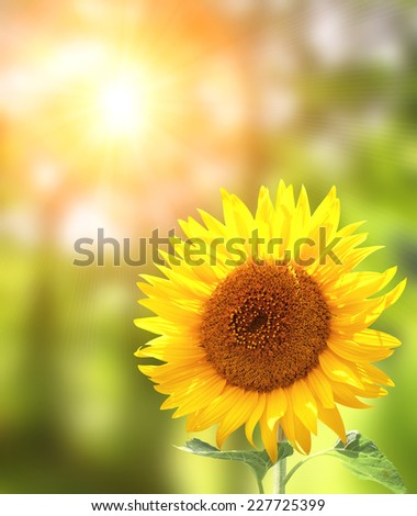 Bright yellow sunflower and sun - stock photo