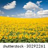 Bright yellow sunflower field with deep blue sky and fluffy clouds. - stock photo
