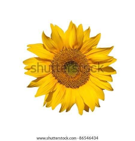Bright Yellow Sunflower isolated on white - stock photo