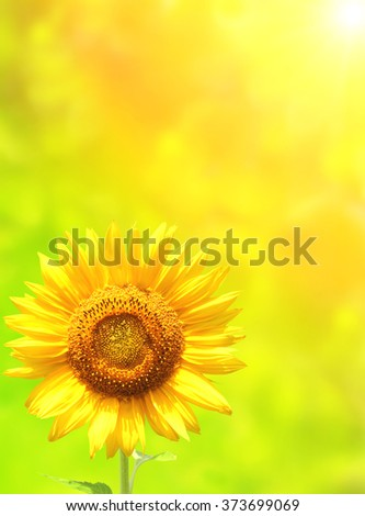 Bright yellow sunflower on green sunny background - stock photo