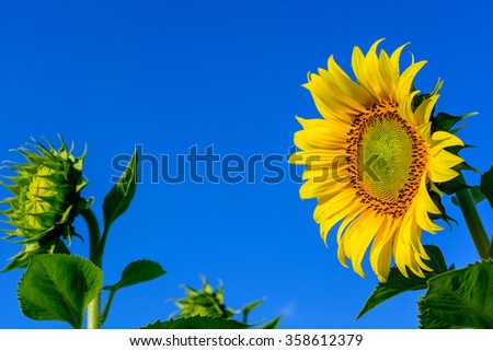 bright yellow sunflower over blue sky - stock photo