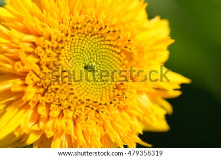 Bright yellow sunflower. Sunflower background. Sunflower seeds.