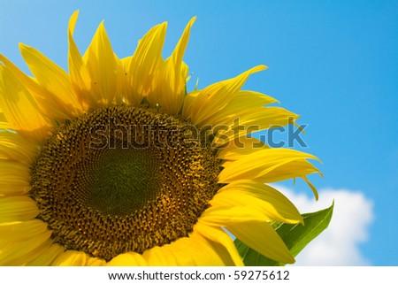 Bright, yellow sunflower under the blue sky - stock photo