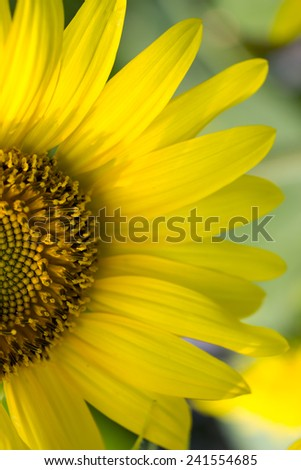 Bright yellow sunflower. Vertical image. Half of sunflower close up. Yellow flower  - stock photo