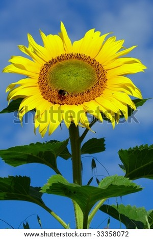 Bright yellow sunflower with deep blue sky and some light clouds in background. Bee sitting on the seeds. - stock photo