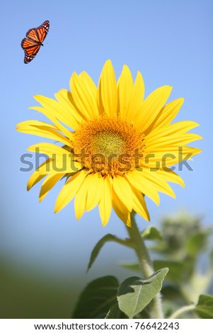 Bright Yellow Sunflower with Monarch Butterfly against a Blue Sky - stock photo